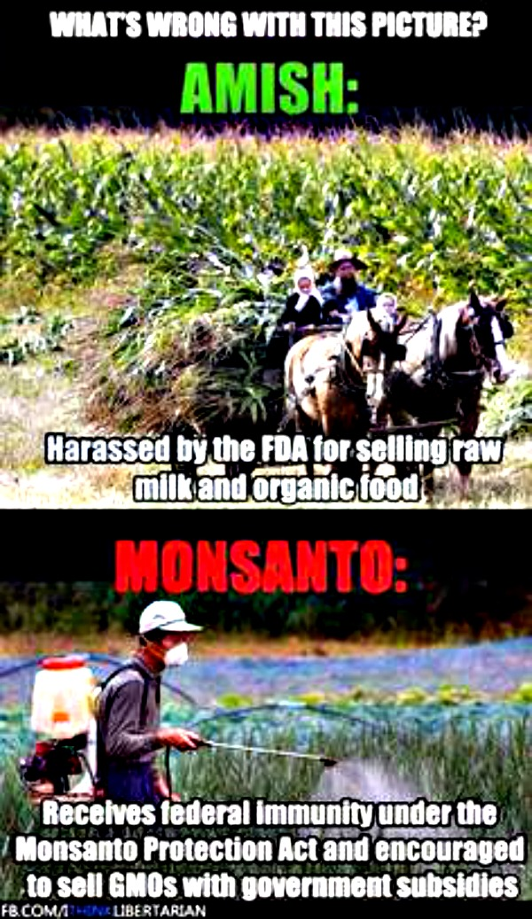 amish and monsanto